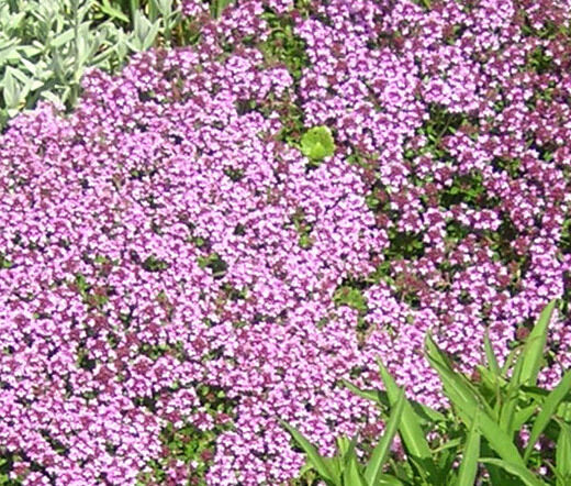 CREEPING THYME DWARF GROUND COVER Thymus Serpyllum - 3,000 ...