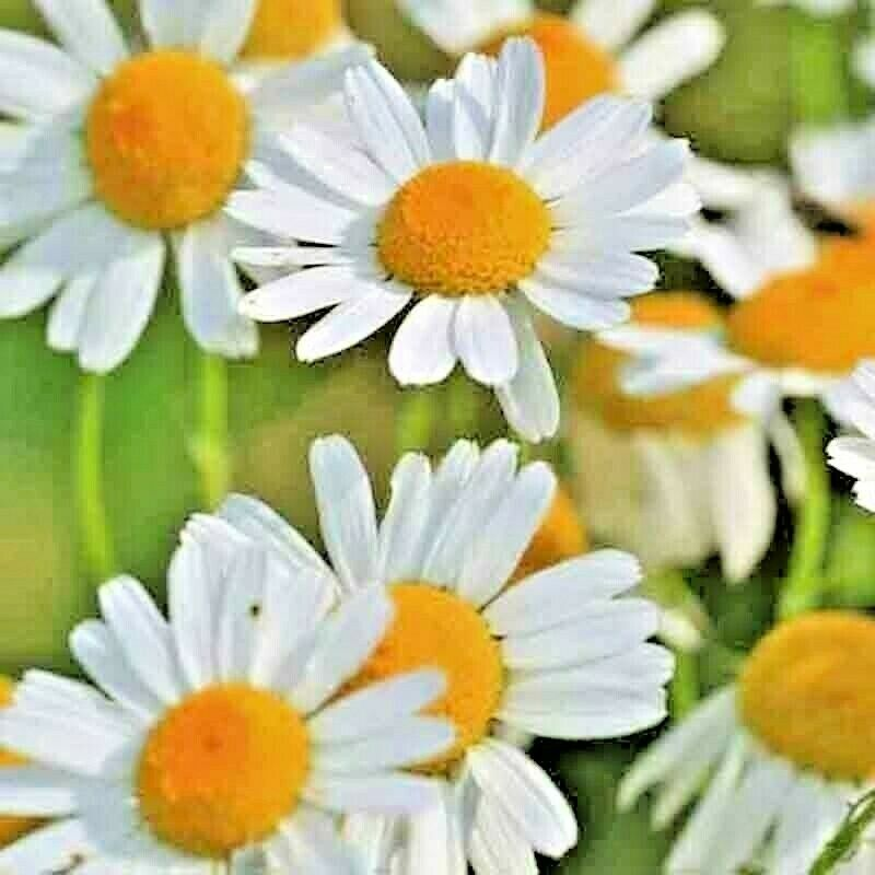 How to Grow Chamomile Plants - The Spruce