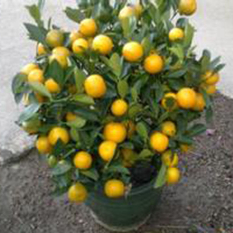 30pcs Pack Calamondin Minature Fruit Tree Seed Dwarf