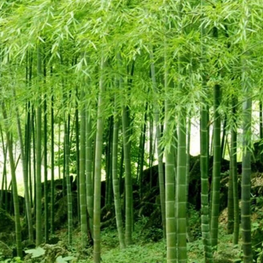 Bamboo Plants For Home Decor