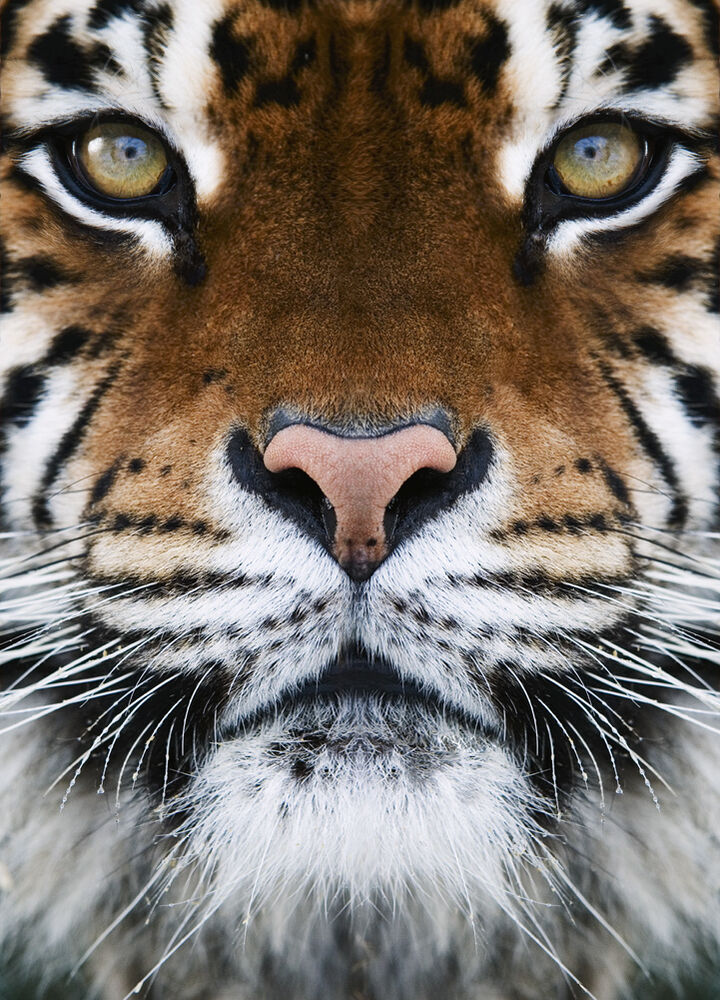 Photo Wallpaper Wall Mural Wild Cat Eyes Tiger For