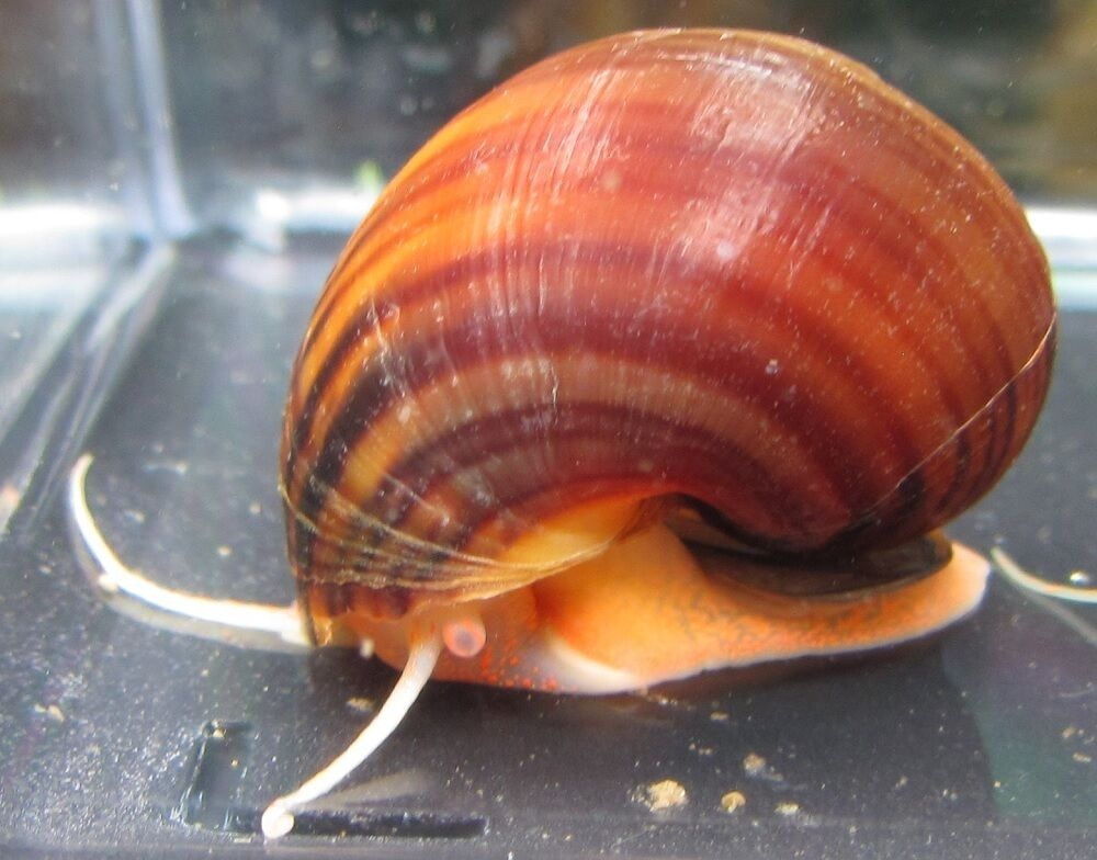 Chestnut mystery snail live freshwater aquarium snails ebay for Snails in fish tank