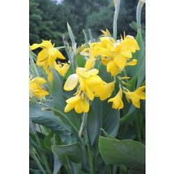 Lemon Yellow Cana Lilies; 5 LARGE Bare Roots