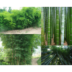 40PCS Seeds Phyllostachys Pubescens/Edulis Moso Hardy Bamboo Evergreen Perennial