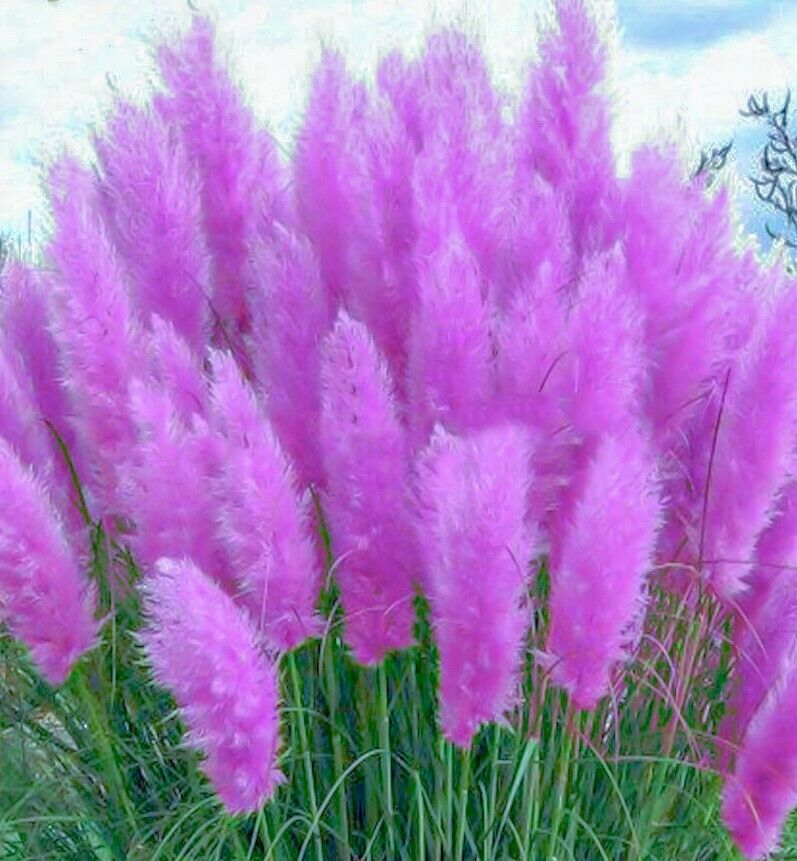 25 pink pampas grass seeds hardy garden perennial plant ebay. Black Bedroom Furniture Sets. Home Design Ideas