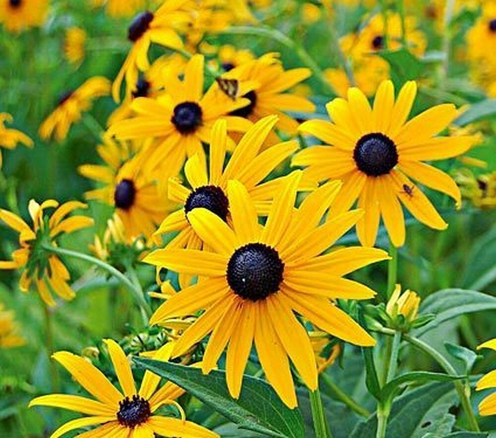 50 Rudbeckia Goldsturm Perennial Flower Seeds Black Eyed