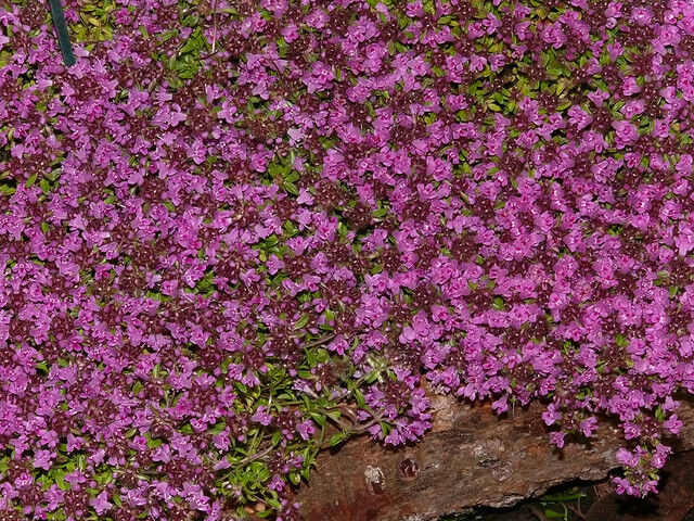 "500 THYMUS SERPYLLUM ""CREEPING THYME"" GROUND COVER PLANT ..."