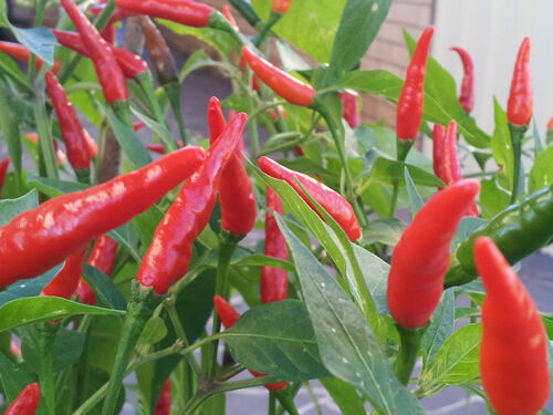 Extreme hot thai chilli heavy yield 30 seeds ebay for Giant chilli thai