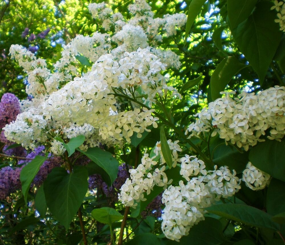 White Lilac Shrub Hardy Perennial Variable Listing