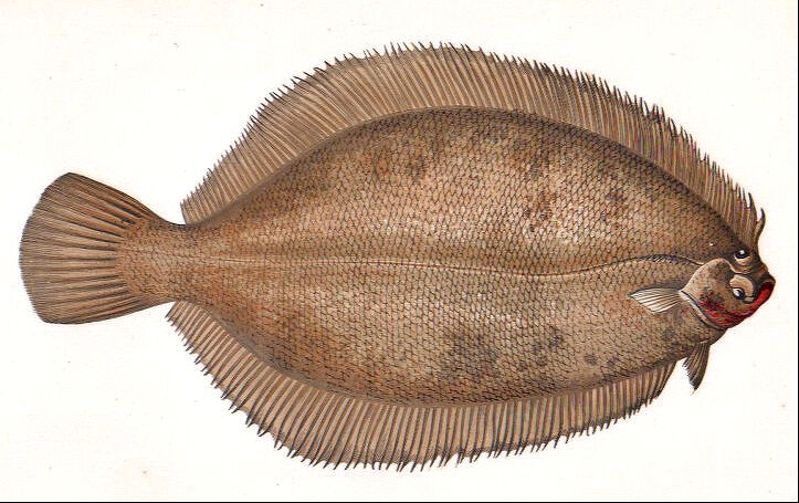 1868 vintage ocean smear sand dab fish original painted for Sand dabs fish