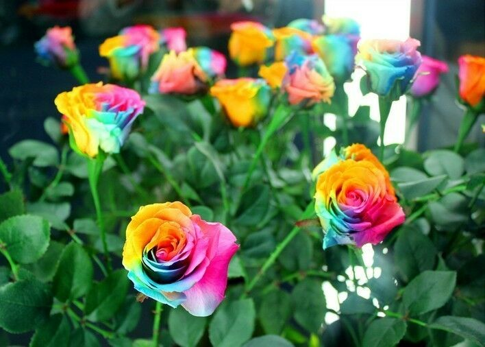 rare holland rainbow rose bush seeds shipping from usa