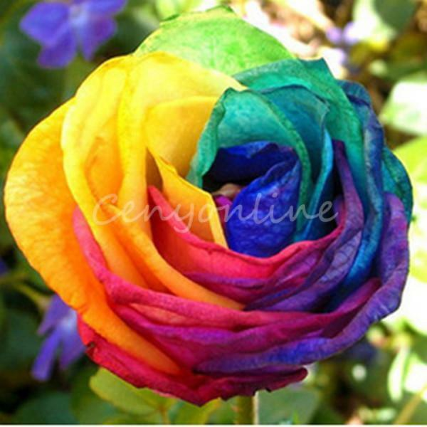 300 stk regenbogen rainbow rose rosen blumen samen saatgut pflanzen multi farbe ebay. Black Bedroom Furniture Sets. Home Design Ideas