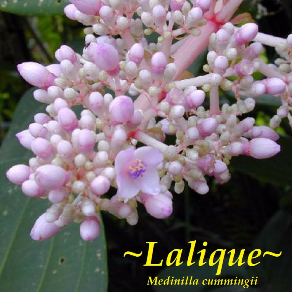 Lalique marvelous mystifying medinilla nice flowering for Nice small trees
