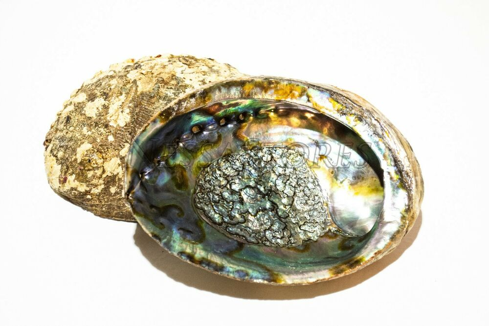 green abalone pictures