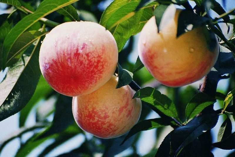 1 Pack 4 Peach Tree Seeds Sweet Peaches Peach Heirloom ...