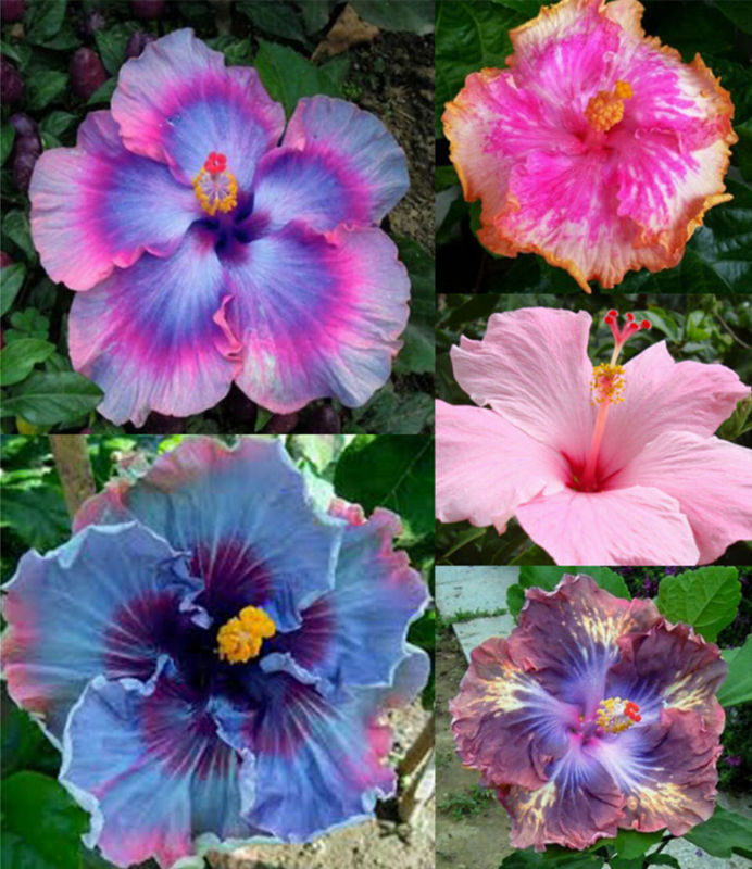100pcs hibiscus new exotic blue seeds gardening giant. Black Bedroom Furniture Sets. Home Design Ideas