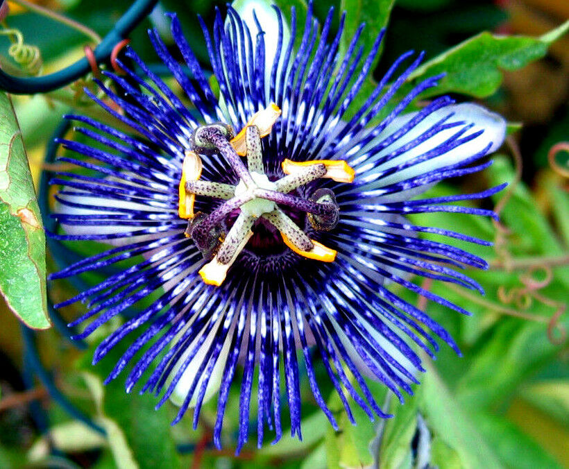 maracuja blaue passionsblume passiflora caerulea winterhart gelbe fr chte ebay. Black Bedroom Furniture Sets. Home Design Ideas
