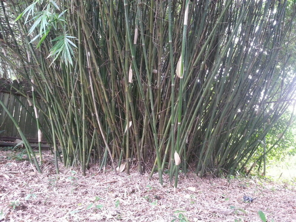 clumping bamboo rhizome root ball actual priority usps shipping ebay. Black Bedroom Furniture Sets. Home Design Ideas