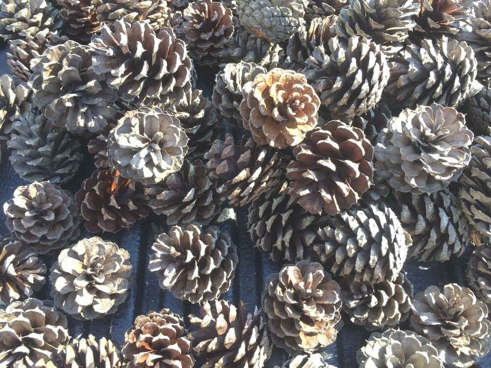 35 small scotch pine cones for crafts and art projects for Small pine cone crafts
