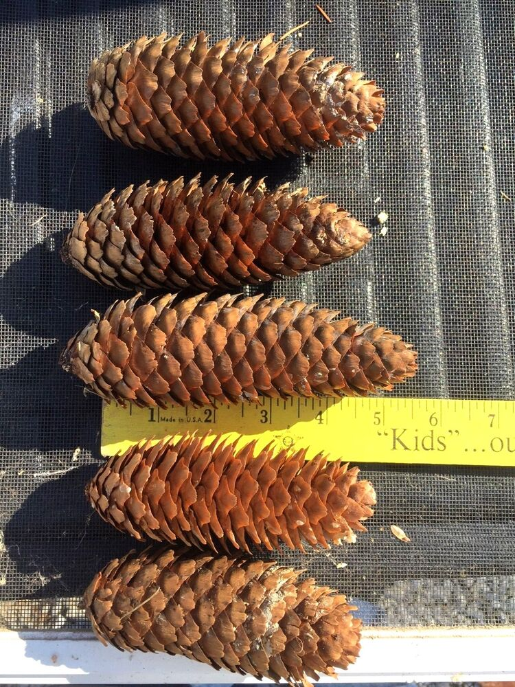 50 large spruce long pine cones for crafts and art for Long pine cones