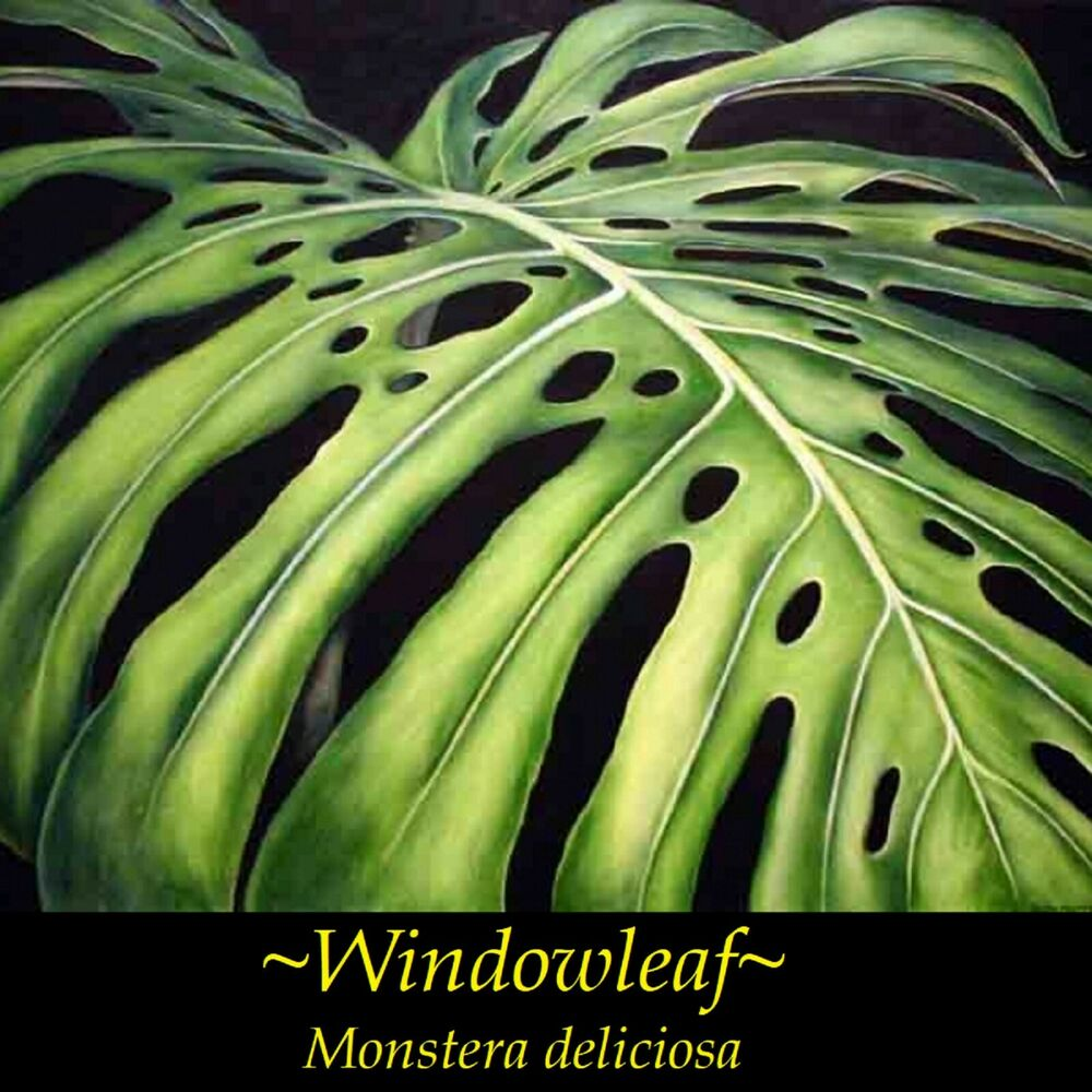 Details About Philodendron Windowleaf Monstera Deliciosa Leafy Indoor Potted Small Plant