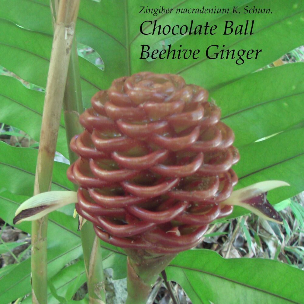 Chocolate Ball Beehive Ginger Zingiber macradenium sml potted