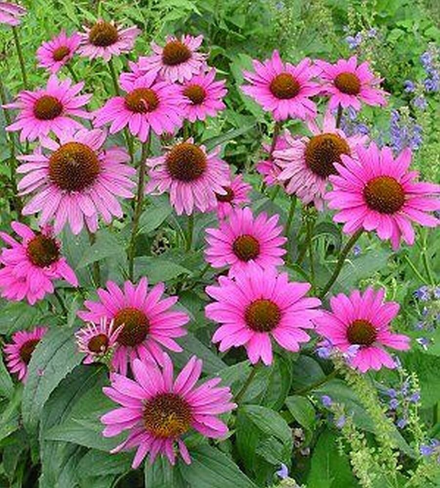 purple coneflower seeds 30 echinacea purpurea seeds ebay. Black Bedroom Furniture Sets. Home Design Ideas