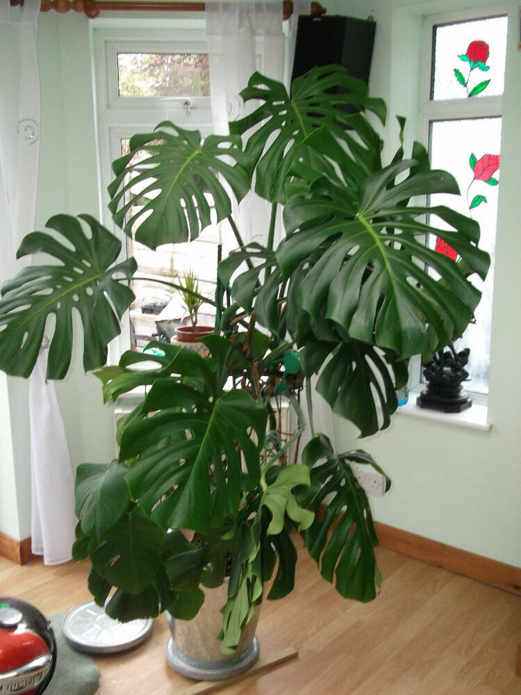 monstera deliciosa live plant with developed root system ebay. Black Bedroom Furniture Sets. Home Design Ideas