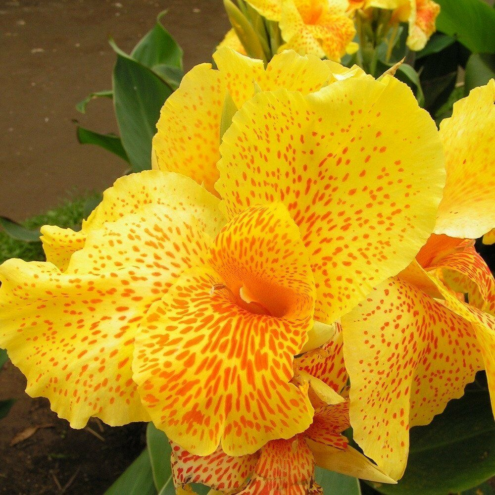 Young Plant Canna Lily Yellow Leopard Large Spotted Flowers Ebay