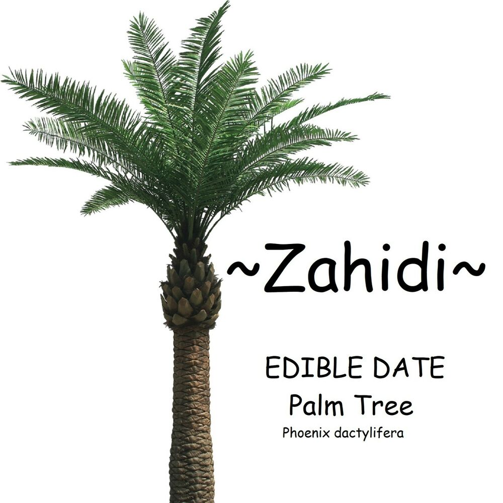 Zahidi Edible Date Palm Tree Phoenix Dactylifera 10 Seeds From