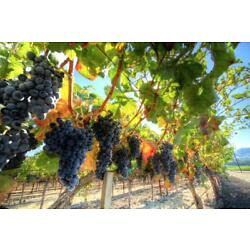 Grapes on the Vine Photo Art Print Mural inch Poster 36x54 inch