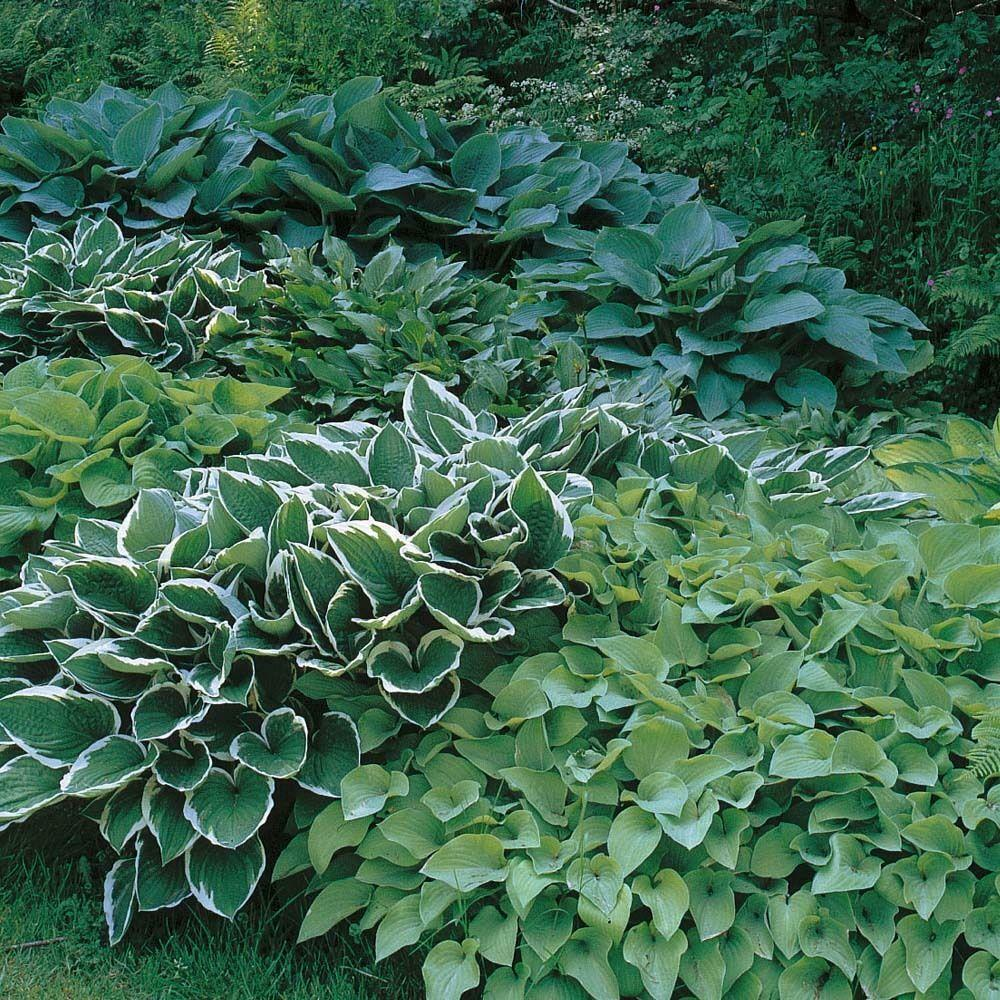 Pack X6 Mixed Hosta Perennial Garden Plug Plants Special Mix Large