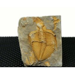 Kyпить Real Trilobite Fossil Come from Western Hunan of China 450 Million Years ago на еВаy.соm