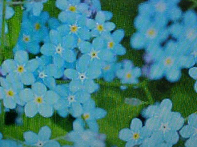 1 2 pound chinese forget me not 39 975 flower seeds ebay. Black Bedroom Furniture Sets. Home Design Ideas