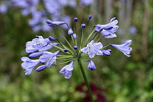 how to grow blue flowers