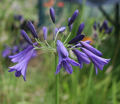 New agapanthus midnight dream very dark violet purple for Dream plants for the natural garden