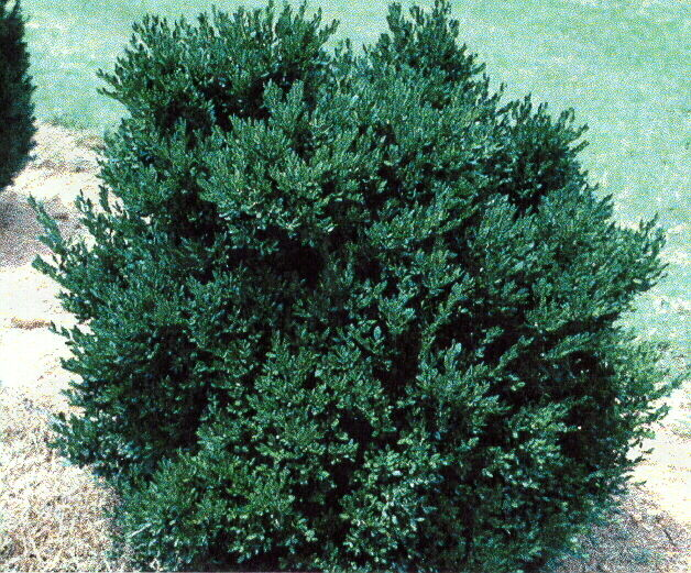Green velvet boxwood low maintenance evergreen live for Low maintenance bushes for shade