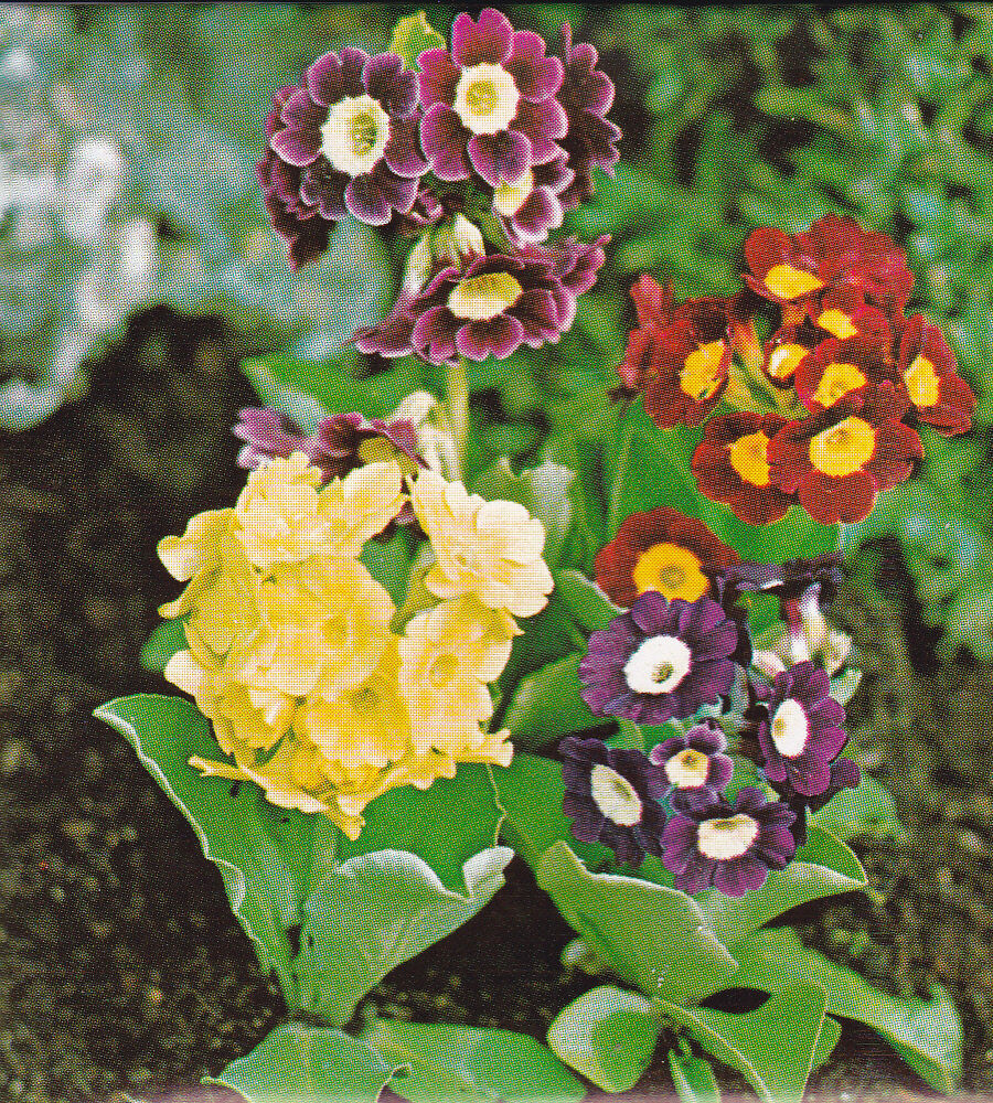 gartenprimel primula pubescens aurikel bunte mischung ca 300 korn mehrj hrig ebay. Black Bedroom Furniture Sets. Home Design Ideas
