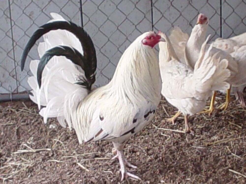 pictures of muff fowls