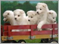 4 Samoyed Puppy Dog Greeting Notecards/ Envelopes
