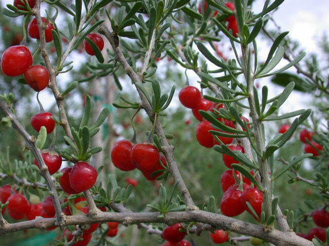 Lycium Carolinianum, Florida Native Tree Christmas Berry