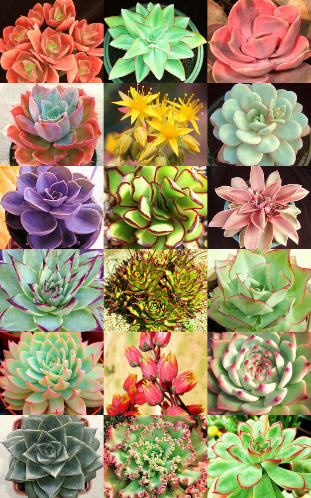 echeveria variety mix rare plant exotic succulent seed flowering pot 20 seeds ebay. Black Bedroom Furniture Sets. Home Design Ideas