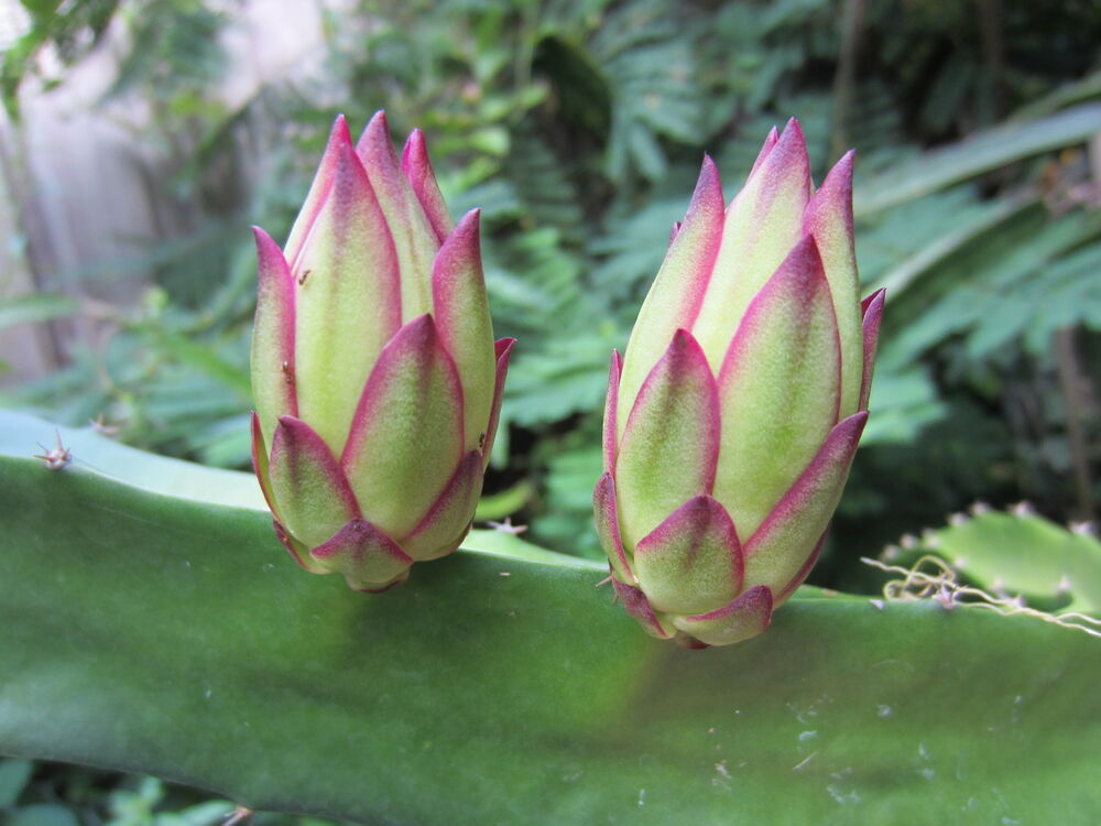 1 Rooted Dragon Fruit Tree Plant Cacti Succulent ...