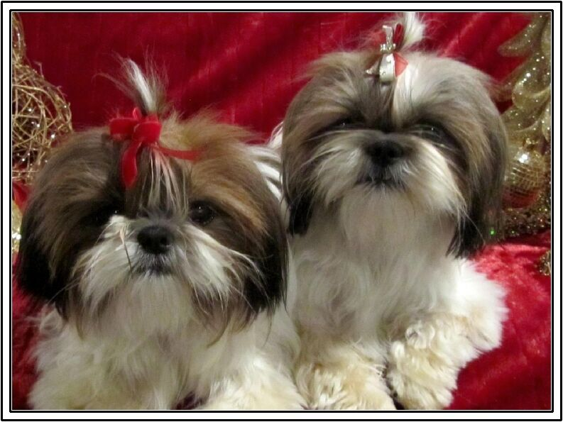 buy shih tzu puppies set 4 dog puppy shih tzu puppies dogs stationery greeting 3025