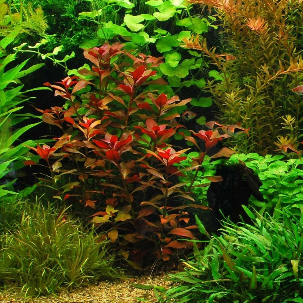 ludwigia repens rubin live aquarium plants bunch fish tanks buy2get1free ebay. Black Bedroom Furniture Sets. Home Design Ideas