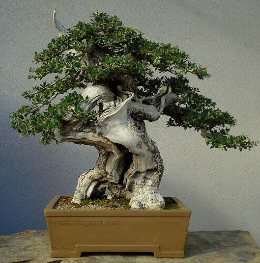 Olea europaea olivo olive tree 15 semi semi bonsai for Olivo bonsai prezzo