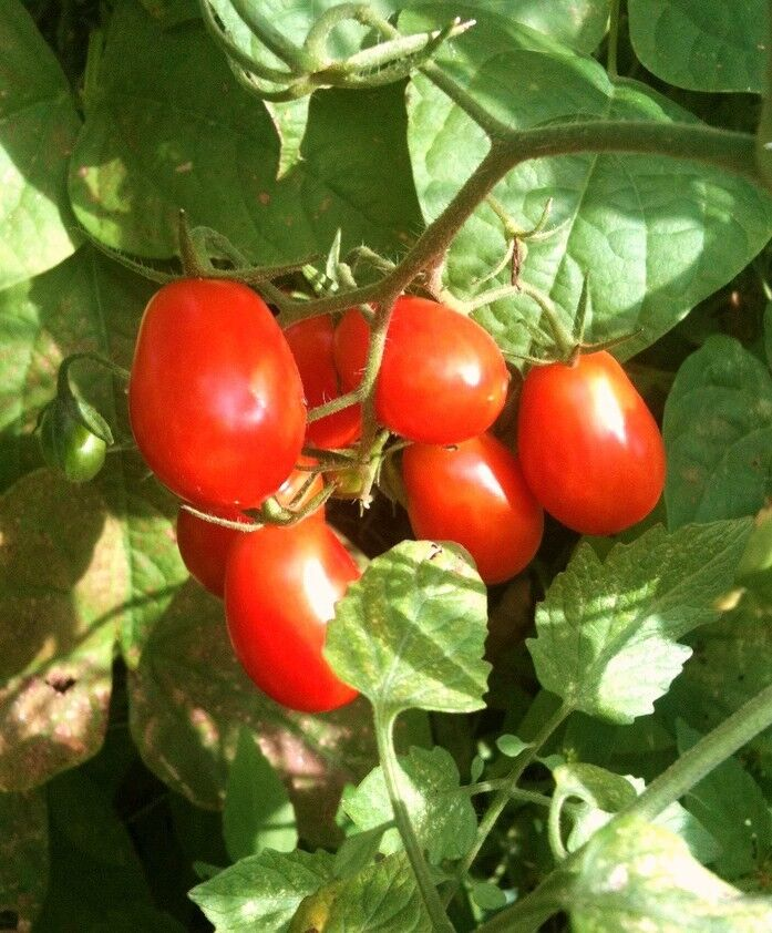 GRAPE TOMATO, sweet vine tomatoes exotic fruit vegetables ... Tomato Plant Flower To Fruit
