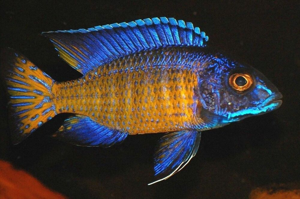 Male mdoka flametail peacock inch aulonocara african for African cichlid fish