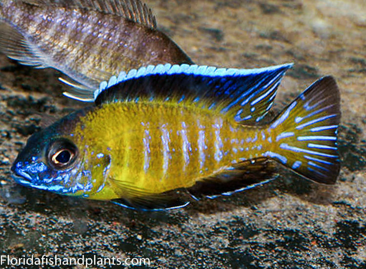 Four fish colony usisya flavescent peacock auloncara 1 5 for African cichlid fish