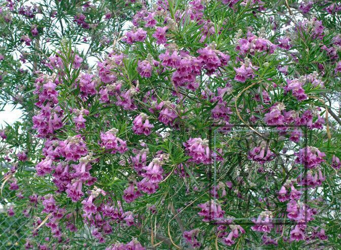 Desert Willow Seeds Treebush With Orchid Like Flowers Chilopsis